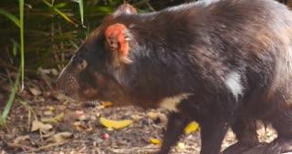Tasmanian Devil carnivorous marsupial of Australia