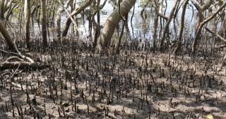 Time lapse mangrove trees tide in marine estuaries tidal mud flat