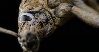 Wattle Pig Weevil beetle insect macro footage