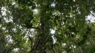 Wild fig tree buttress root rainforest ecosystem natural forest