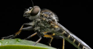 Yellow Slender Robber Fly Insect compound eye macro closeup