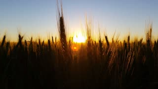 Wheat field warm sunset with lens flare