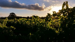 Wine Grape Vineyard sunset landscape - Vineyard plantation of grape-bearing vines, grown mainly for winemaking, but also raisins, table grapes and non-alcoholic grape juice.