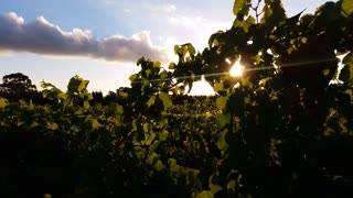 Wine Vineyard sunlight through grape leaves
