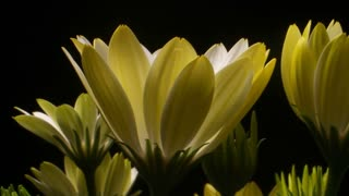 Yellow Flower time lapse blossom bud blooming White Lightning flowers Dolly shot
