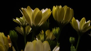 Yellow Flower time lapse blossom bud blooming White Lightning flowers