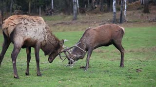 Red deer in a fight