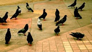 Herd of pigeons, bird, animal, public.