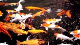 Koi fish pond, beautiful, nature, vivid.