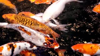 Koi fish pond, beautiful, nature, vivid.
