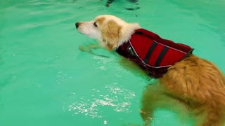 Dog is Swimming in Pool Training