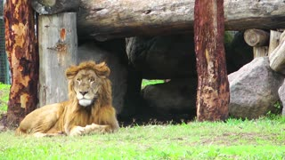 Lion in Wild Nature
