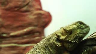 Iguana Animal in Zoo