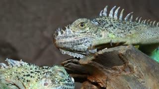 Iguana Reptile Lizard Animal in Nature
