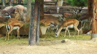 Mammal Animal Deers in Zoo