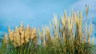 Reeds Plant in Nature
