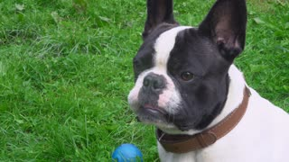 french bulldog sitting on the green grass in summer season. cute dog with white and black color fur. Near puppy blue toy ball