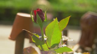 In the garden of growing shrub roses buds have not yet blossomed wind blows on a rose. Leaves rustling in the wind. 4k