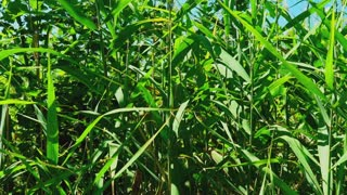 Reed cane with a slender stick used as a support for plants, as a walking stick, or as an instrument of punishment rifle-green color grows outdoors. Close-up details of nature