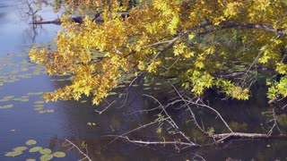 tree branch with amazing yellow and gold leaves swaying. Wonderful nature in autumn season. Tree in the forest or park on the on the shore river or lake. Sunny day with light breeze