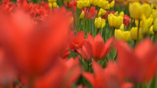 Beautiful flowers blooming in the garden. Red, yellow and white flowers in focus.