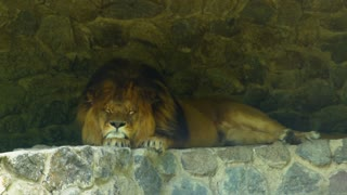 Big beautiful lion sleeping on the stones. Slowmotion dangerous animal relaxing in the shadows
