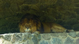 Big beautiful lion sleeping on the stones
