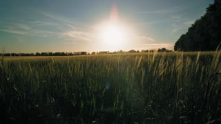 Breathtaking landscape at countryside sunset. Paysage on the field with young small growing wheat around beautiful big trees. View of the sunset in the evening sky
