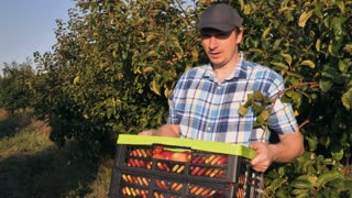 Caucasian happy man and smiling woman harvesting apples in garden. Workers or grower holding box with fruits. Young female coming with apple. Orchard in summer season sunny day with cheerful