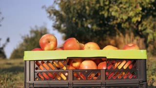 Closeup details crate with apple in the garden. Unrecognizable man comes to the box with fruits. harvest in orchard in autumn season sunny day. fruit-grower hands outdoors in sunshine