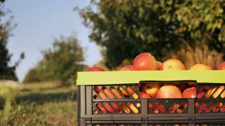 Closeup details crate with apple in the garden. Unrecognizable woman comes to the box with fruits. harvest in orchard in summer season sunny day. fruit-grower female hands outdoors in sunshine
