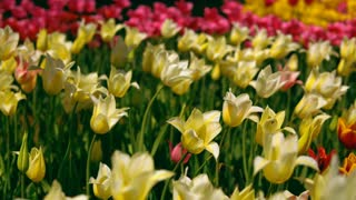 Colorful flowers bokeh effect. Romantic garden during springtime.