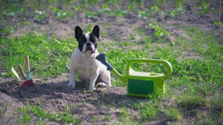 French bulldog sitting on the ground at the backyard or garden in sunny day. Cute dog looking at the camera near green watering can and different gardening tools. Summer season in countryside