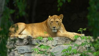 Lioness resting in the shade of trees looking at the camera