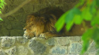 Portrait lion opening and closing eyes. King of beasts with a beautiful mane. Animal outdoors in zoo
