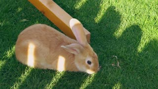 rabbit sitting on the green grass and eat it. Cute domestic animals enjoy life outdoors