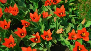 Red flowers are blooming. Gorgeous flowers are blown by the morning breeze. Tulip pistil surrounded by stamens.