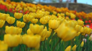 Stunning fields of yellow flowers. Thousands of yellow tulips bring delight to nomerous visitors of the park.