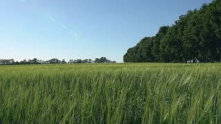 View on the green wheat field in sunny day. Slow motion. Nature in spring season daytime. Landscape without people