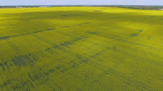 Yellow rapeseed field flowers shot from the sky 4k video