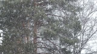 Slow motion view of heavy snow fall in evergreen forest
