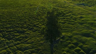 4K Lonely Tree on Summer Field in the Sunset Sunrise aerial slow motion 4k.