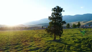 Majestic alone beech tree on a hill slope with sunny beams at mountain valley. aerial slow motion 4k.