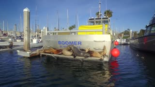 A group of sea lions jump off the back of a boat