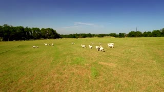 Aerial view of goats roaming farmland