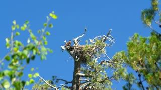 Bird in high up nest on tree under blue sky