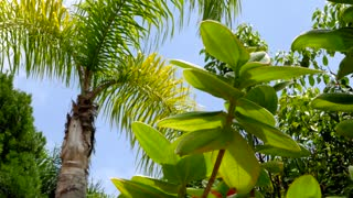 Blue sky peaks through palm tree leaves blowing in wind 3