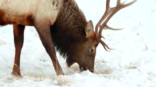 Close up of a moose in the snow