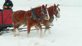 Close up of horses pulling carriage in the snow