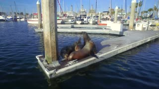Closeup of sea lions huddled at the end of a dock